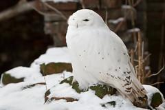 2013-01-17-15h18m32.272P8684 (A.J. Haverkamp) Tags: snow amsterdam zoo sneeuw thenetherlands artis snowyowl dierentuin sneeuwuil canonef70200mmf28lisusmlens httpwwwartisnl