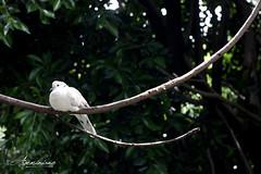 Rest the Peace (Lobogeminis) Tags: birds peace paz paloma aves ave pajaros avian 2012 brid aviario