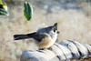 Black-crested Titmouse (Passion4Nature) Tags: birds birdbath texas birding textures titmouse ie hillcountry birdwatching blackcrestedtitmouse moonseclipse memoriesbook yourpreferredphoto tatot magicartoftextures artistictreasurefinest magicunicornverybest moonseclipsehighlights galleryoffantasticshots kurtpeiser