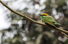 Green Bee-eater---Scientific name: Merops orientalis (tareq uddin ahmed) Tags: canon bee 7d ahmed bangladesh eater chittagong uddin tareq merops orientalis tarequddinahmed