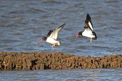 American Oystercatchers (57rroberts) Tags: nature de outdoors shorebirds delawarebay primehook americanoystercatcher primehooknationalwildliferefuge