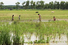 Knee deep (I.M.W.) Tags: bangladesh srimangol sylhet rice field fish paddy marsh water flood swamp grass woman buffalo agriculture lake pond landscape rainyseason wetseason green asia people