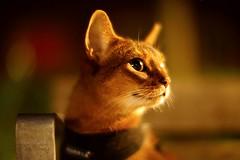 Late night (DizzieMizzieLizzie) Tags: abyssinian aby beautiful wonderful lizzie dizziemizzielizzie portrait a7 cat chats feline gato gatto katt katze katzen kot meow mirrorless pisica sony mitakon night