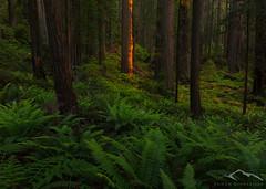Tree God (Sairam Sundaresan) Tags: california sunset usa tree nature northerncalifornia forest canon landscape coast spring twilight coastal finished redwoods delnorte sairam sundaresan sairamsundaresan sonya7rii