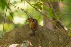 7K8A3717 (rpealit) Tags: scenery wildlife nature sparta glen chipmunk