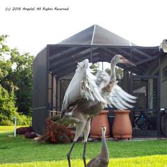 Look How High I Can Jump! (AngelaC2009***) Tags: 2016 july summer florida riverview birds sandhillcranes sandhillcranefamily juvenilesandhillcrane fujifilmfinepixs8200