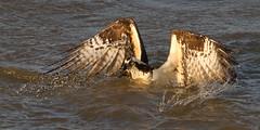 IMG_4376 Osprey (cmsheehyjr) Tags: cmsheehy colemansheehy nature wildlife bird hawk fishhawk richmond virginia jamesriver pandionhaliaetus osprey