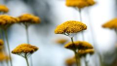 Details matter II (Ans van de Sluis) Tags: ansvandesluis badzwischenahn bokeh bokehlicious flora floral flower germany macro nature parkdergarten