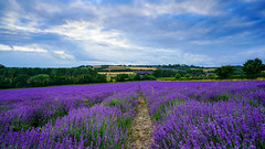Castle Farm Lavender (TanzPanorama) Tags: nature england kent lavender castlefarm shoreham lullingstone tanzpanorama flickr fragrant purple sonya7ii sonyilce7m2 fe1635mmf4zaoss sel1635z zeiss countryside rural crop path sky clouds dusk