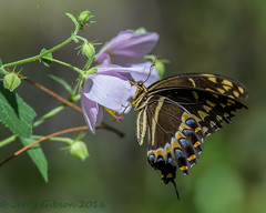 Potts Preserve Palamedes Swallowtail on Saltmarsh Mallow flower 07-21-2016 (Jerry's Wild Life) Tags: butterfly citrus citruscounty county florida palamedes palamedesswallowtail papiliopalamedes potts pottspreserve saltmarshmallow swallowtail