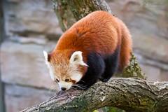 14391648673_612b12c61a_o (wuowuo) Tags: zoo karlsruhe tier animal sugetier mammal katzenbr roter kleiner red panda