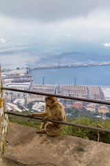 A Barbary macaque hanging on to a fence with harbor for Gibraltar in the background (TimOve) Tags: vacation ferie trip summer sommer barbarymacaque fence gibraltar harbor therock rockape