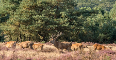 red deer in rutting season (a.limbeek) Tags: edelhert