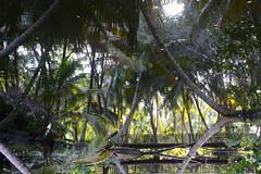Welcome to the Jungle (Alex L'aventurier,) Tags: samana rpubliquedominicaine dominicanrepublic resort jungle palm palmier trees lake lac water eau reflet reflection green vert bridge pont passerelle troncs trunks