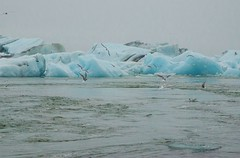 Arctic Terns fishing at Jkulsrln (Igor Sorokin) Tags: europe iceland island jokulsarlon glacier lagoon iceberg seagulls water turbulence lake blue ice travel scenic dslr nikon d7000