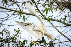 Aigrette garzette (Casmerodius albus) (yann.dimauro) Tags: fr france loire loiret sully sullysurloire animaux extrieur faune oiseau ornithologie yanndimauro