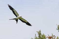 Swallow-tailed Kite (Michael R Hayes) Tags: swallowtailedkite kite bird bif flying inflight mckethanlake florida fl
