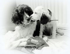 The Face to Face Challange (Missy Jussy) Tags: springer spaniels puppy dogs animals littledoglaughednoiret
