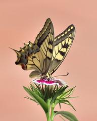 Papallona Reina (Porschista) Tags: mariposa papallona butterfly lepidptero lepidopter lepidpter papiliomachaon estudi maresme papallonareina libar flor flower flo fleur clavellina claverito calveldelpoeta