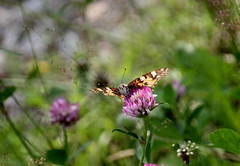 IMG_6491 (pappleany) Tags: pappleany schmetterling falter tagfalter distelfalter butterfly natur outdoor insekt