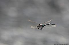 Libellula (Gianpaolo Bottin) Tags: closeup france rhonealps montcenis nature insect odonata libellulidae libellula