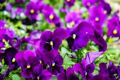 Aya Sofya9-0483rw (Luciana Adriyanto) Tags: travel turkey istanbul museum ayasofya hagiasofia flowers v1olet lucianaadriyanto