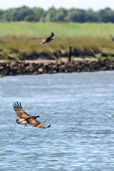 Osprey and Peregrine on river Welland (Mark at Magdalen) Tags: osprey habitat rivers coastal birds lincolnshire animals peregrine places