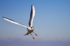Fly like an... (michel1276) Tags: outdoor vogel tier mwe gull bird
