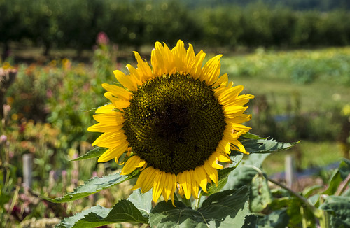 Sunflower -- Catoctin Mountain Orchard Thurmont (MD) September 2016