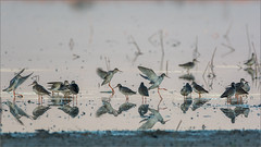 DSC_6084a (Viktor Honti) Tags: nikon d7100 tamron 150600 hungary nature wildlife bird tringa totanus