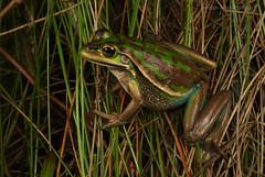 Green and Golden Bell Frog (Litoria aurea) (Jordan Mulder) Tags: green golden bell frog wildlife amphibian south coast nsw endangered litoria aurea