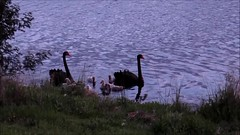 Swans and walkers on Yerrabi Ponds at sunset. (spelio) Tags: act canberra australia 2016 walk wildlifebirds swanslakepond video mov fave