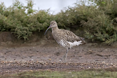 Eurasiain Curlew (Baractus) Tags: eurasian curlew john oates christopher cadbury reserve upton warren worcestershire uk