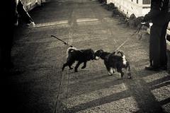 Buddies (Jori Samonen) Tags: animal pet dog leash people fence light shadow meilahti helsinki finland nikon d3200 180550 mm f3556 nikond3200 180550mmf3556