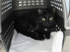 Coco - 1 year old spayed female