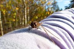 Slnda (evisdotter) Tags: slnda dragonfly insect nature autumn hst sooc arm rm skog forest bokeh macro