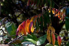 IMG_0010_2 Sumac (oldimageshoppe) Tags: sumac fallcolors leaves fall