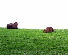 DSC01454 (Luciano Felipe) Tags: capivara capybara