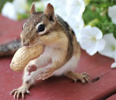 ~I'm ready...throw me another one!~ (nushuz) Tags: flowers winter cold adorable chipmunk alvin vt whimsical warmerdays biteoutofhisear thebestofmimamorsgroups flickrsportal missinghimandhisfriends peanutinhismouth