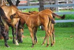 Cheirando a Mame (Walter Scaranto) Tags: horses horse natureza campo cavalos cavalo itpolis itapolis nikond300 scaranto brasilemimagens