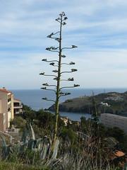 agave du printemps 2012 (Claudie K) Tags: agave cerbre cdre soulane capcerbre claudiek