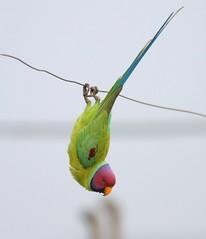 Delhi Rooftop: Plum-headed Parakeet (spiderhunters) Tags: india bird delhi parrot parakeet plumheadedparakeet psittaculacyanocephala saaksharaapts paschimvihar