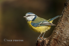 Bluey (Nigel Dell) Tags: winter birds flickr wildlife places hampshire fleet bluetit fsg ngdphotos