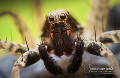 Wolf spider (Sameeran_Nath) Tags: india macro eye nature canon lens spider diy eyes wolf 28mm tubes extension reverse assam f11 arrangement diffuser nath 600d sameeran 430exii