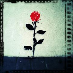Wall Rose