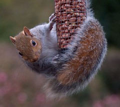 That Squirrel again! (velton) Tags: uk grey scotland squirrel britain great nuts scottish feeder peanuts explore ayrshire