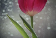 Scent of Spring (Silandi) Tags: pink light red white plant reflection green window nature rain january drop tulip lightreflection fllower 2013 abigfave