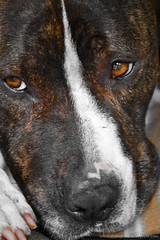 dog puppy bull terrier junior adoption staffy stafordshire rehome