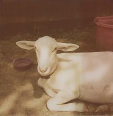 (abdukted1456) Tags: slr me animal polaroid se farm maine goats 600 integral expired slr680 680 expiredfilm landcamera westbrook instantfilm 680se thanksgina smilinghill