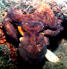 Octopus ### (R13X) Tags: scuba diving octopus shoredive philfoster blueheronbridge